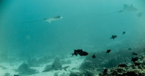 Photo of 2 eagle rays and a white tip shark at Madivaru Corner dive spot