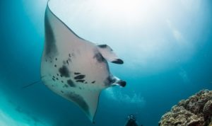 Photo of a manta ray at the manta cleaning station of Rasdhoo Atoll