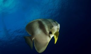 Photo of a bat fish at Madivaru Corner