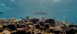 Photo of a Maldivian white tip shark